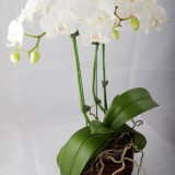 white-orchid-plant